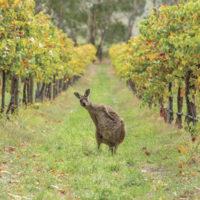 Kangaroo, Adelaide, SA
