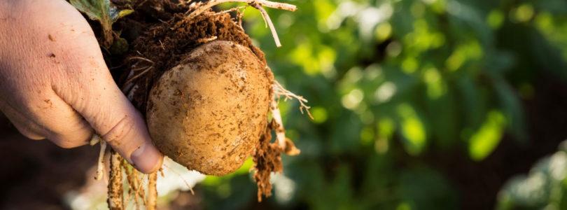 Adelaide to host World Potato Congress